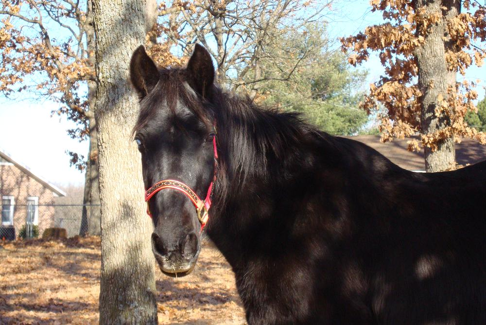 Beauty: Senior Tennessee Walker (over 30 years), blind in one eye.